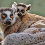Voici la solution pour sauver les lémuriens de Madagascar